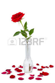 Long Stem Rose Vase Red Long Stem Rose In A Vase Surrounded By Rose Petals Isolated