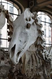 Horse Skeleton Halloween 99 Best Halloween Skeleton Horse Images On Pinterest Horse