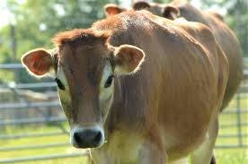 cows odds farm park