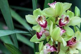 cymbidium orchids cymbidium orchids the beauty and the basics of boat orchids