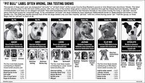 belgian shepherd vs pitbull fight pit bulls myths and facts page 13