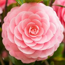 camellia flowers japanese camellia flower seeds pink flower bonsai plants diy