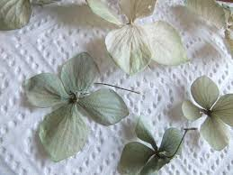 dried hydrangeas tutorials drying hydrangeas fast flat or
