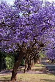 purple flowering tree pacific northwest best flowers and rose 2017