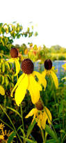 native mexican plants 9 best ontario native plants images on pinterest native plants