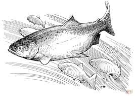 king salmon coloring page free printable coloring pages