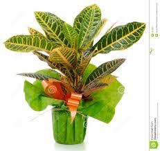 ornamental plant croton royalty free stock photography image
