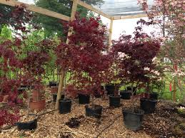 Ornamental Maple Tree Japanese Maple Trees For Sale Buy Japanese Maples Ornamental Trees