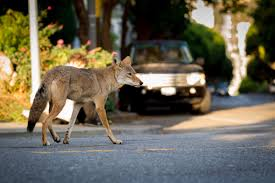 Can Coyotes See Red Light 10 Fascinating Facts About Urban Coyotes The Urban Coyote Initiative
