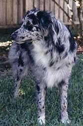 australian shepherd jumping fence australian shepherd dog breed pictures 4