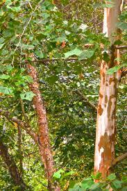 native american medicinal plants medicinal properties of sycamore survival sherpa
