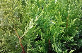 amazon com sandys nursery online thuja green giant arborvitae