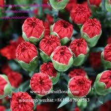 White Roses For Sale Whatsapp 8618687800583 Export The White Carnations For Sale And