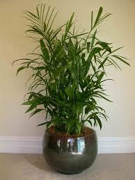 indoor palm modern beautiful indoor plants fresh garden trends