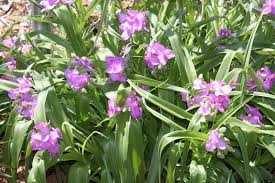 native virginia plants all the dirt on gardening spiderwort tradescantia for moist shade
