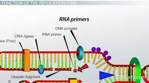 dna replication fork definition u0026 overview video u0026 lesson
