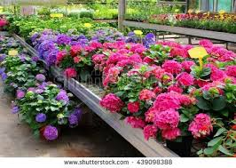 greenhouse flowers stock images royalty free images u0026 vectors