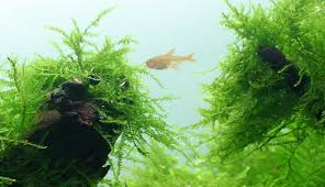 Aquascape Moss Java Moss Beginner Friendly Guide Aquascape Guru