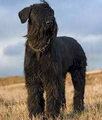 belgian malinois jet black big black dog breeds with pictures u0026 breed profiles