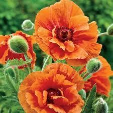 shop poppy plants papaver orientale