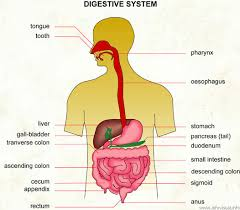 maintaining a healthy digestive system mnr