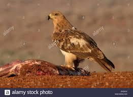 tawny eagle aquila rapax single bird on ground south africa