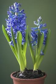 hyacinth flower hyacinth care indoors after flowering what to do with indoor