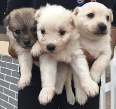 american eskimo dog for sale in colorado american eskimo dog dog for sale puppies for sale