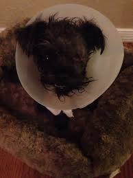 affenpinscher arizona the second batch of ticks pulled off of her yelp