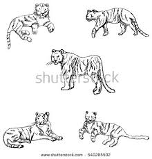 hand drawing tiger stock images royalty free images u0026 vectors