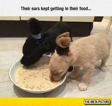 Grown Baby Meme - 21 puppies who haven t grown into their ears funny memes memes