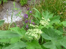 tundra native plants july 2012 my gardener says u2026