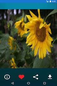 foto wallpaper bunga matahari wallpaper bunga matahari apk download free personalization app for