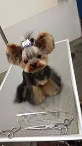 types of yorkie haircuts animals gorgeous yorkie puppies for sale re homing 13 weeks very