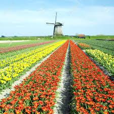 Netherlands Tulip Fields Windmill With Tulip Field Near Schermerhorn Netherlands Stock