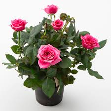 mini roses with bigger flowers
