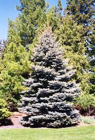 colorado blue spruce picea pungens var glauca in milwaukee