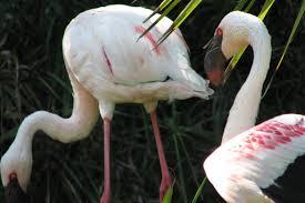 file pink flamingos lagos zoo the algarve portugal