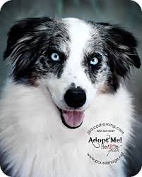 australian shepherd puppies near me bailey adopted dog phoenix az australian shepherd border
