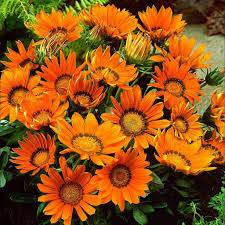 gazania splendens daybreak bright orange