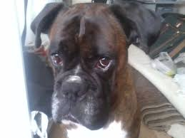 boxer dog reverse brindle boxer for stud brindle beautiful markings bristol bristol