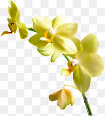 flower orchid orchid flower png images vectors and psd files free