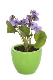 Fragrant Indoor Plants Low Light Caring For Violets Indoors U2013 Tips On Growing Violets Indoors