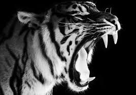 beautiful black and white tiger image 245349 on