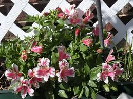peruvian lilies peruvian lilies how to grow and care for peruvian plants