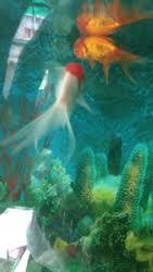 aquarium fish manufacturers suppliers of aquarium cashimara