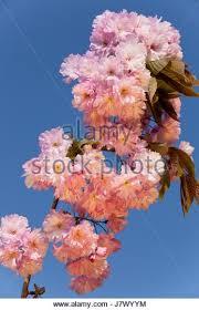 ornamental almond in blossom sun stock photos ornamental almond
