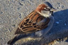 male house sparrow sidewalk closeup western massachusetts nikon