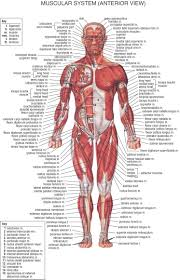 human anatomy stock vector anatomy of male muscular system