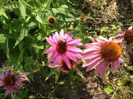 late summer blooms in minnesota uncle joe stories and blog new